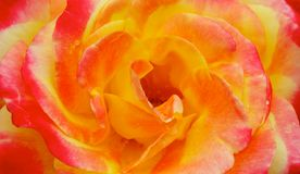 Yellow Pink Orange Rose Macro Stock Images