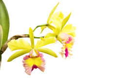 Yellow - pink orchid, cattleya Stock Photo
