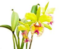 Yellow - pink orchid, cattleya Stock Image