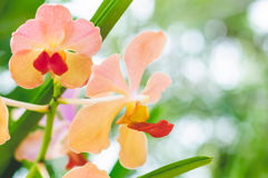 Yellow Pink Orchid Closed Up. Yellow Pink Orchid Floral With Red Pollens On White Bokeh Background Stock Photo