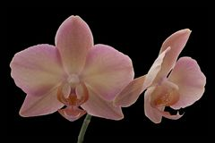 Yellow-pink Orchid flower Royalty Free Stock Images