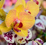 Yellow  and pink  orchid flowers closeup. Royalty Free Stock Photography