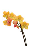 Yellow and pink orchid Royalty Free Stock Photography