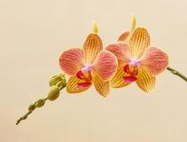 Yellow and pink orchid Stock Image