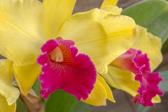 Yellow and pink orchid in Thailand Stock Image