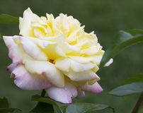Yellow & Pink Peace Rose - Rosaceae. This is a yellow and pink climbing peace rose Rosaceae stock photo