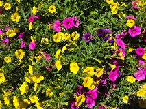Yellow and Pink Petunia stock images