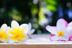 Yellow and pink plumeria flower on wooden board background, copy space. Relaxation pagoda flower stock photos