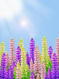 Yellow pink and purple lupin flowers with sunny blue sky background and sun rays Stock Photo