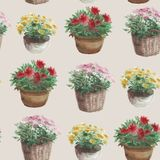 Yellow, pink, red flower in a flower pot, beige background. Wate Royalty Free Stock Image