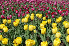 Yellow, pink and red flowers of tulips. In spring Stock Image