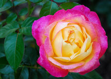 Yellow Pink Rose. Pink and yellow rose with green leaves Stock Photos