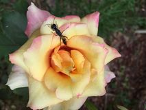 Yellow and Pink Rose Royalty Free Stock Photography