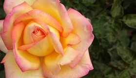 Yellow and pink rose bloom Stock Photo
