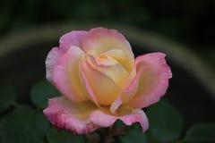 Yellow pink rose Royalty Free Stock Photos