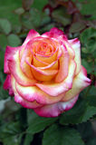 Yellow and pink rose bud half bloomed in a garden. Closeup of rose bud in garden, portrait orientation Royalty Free Stock Photography