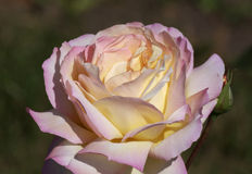 Yellow with pink rose Stock Photo
