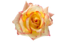 Yellow and pink rose with drops on isolated white background. Stock Photos