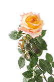 Yellow and pink rose with drops on white . Royalty Free Stock Images
