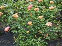 yellow pink rose flower Stock Image