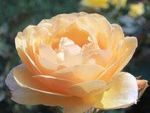 Yellow Pink Rose background - Stock Photos Stock Photography
