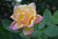 Yellow and Pink Rose in Garden royalty free stock photo