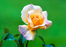 Yellow and Pink hybrid tea rose covered with water drops on the green background. Royalty Free Stock Photo