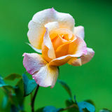 Yellow pink rose Stock Photos