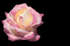Yellow and pink rose isolated on black Royalty Free Stock Image