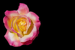 Yellow and pink rose isolated on black Stock Images