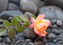 Yellow and pink rose laying on bed of pebbles and shallow water with water drops covering everything stock photography