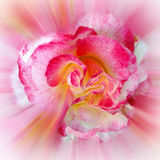 Yellow pink Rose. The new cherries turning red Royalty Free Stock Image