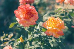 Yellow and pink rose in the open air. Chic roses. Yellow and pink rose in the open air. Chic roses Royalty Free Stock Photo
