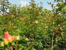 Yellow pink rose flower Royalty Free Stock Photos