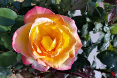 Yellow and pink. Rose in shades of yellow and pink Stock Photo