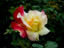 Yellow and Pink Rose, Two Shades Rose royalty free stock photo