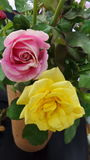 Yellow and pink roses from the garden Stock Image