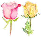 Yellow and pink roses. Set of yellow and pink roses, watercolor illustration on white background Royalty Free Stock Photography