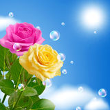 Yellow and pink roses Royalty Free Stock Image