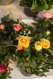 Yellow and pink roses. Small yellow and pink roses. Vertical composition. Shot with shallow depth of field stock image