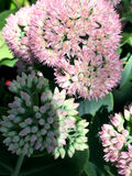 Yellow and pink sedum with bugs Stock Photo
