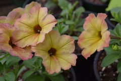 Yellow Pink tipped Petunia flowers. Yellow pink tipped petunia flower bunch with green leaves stock photo