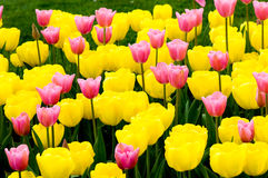 Yellow and pink tulips Stock Photo