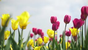Yellow and pink tulips in a field. Clip stock video footage