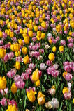 A sea of Yellow and pink tulips in full bloom Royalty Free Stock Image