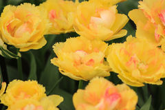 Yellow and pink tulips. Stock Photos
