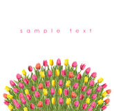 Tulips. Yellow and pink tulips Stock Images