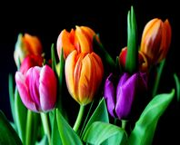 Yellow Pink and Violet Tulips Stock Image