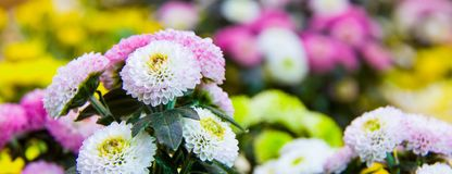 Beautiful blossoming chrysanths in autumn botanic garden stock photography