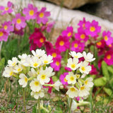 Yellow and pink wild primroses in the garden Stock Image